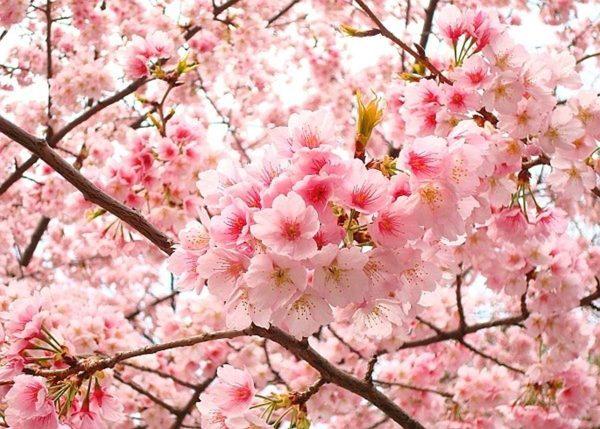 Những loài hoa tượng trưng cho nỗi buồn