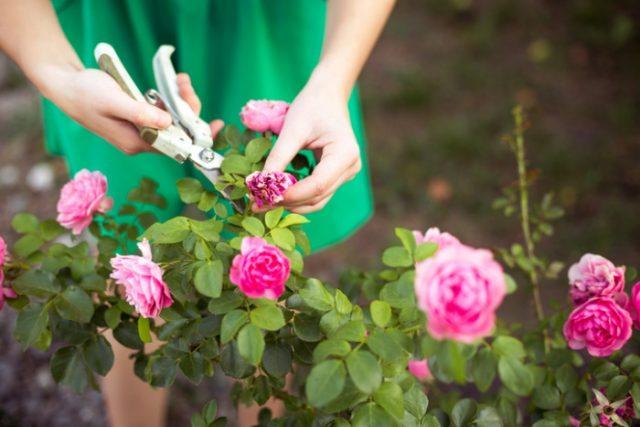 cách làm cho hoa hồng nở to và sai bông