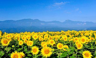 Thời gian hoa hướng dương nở