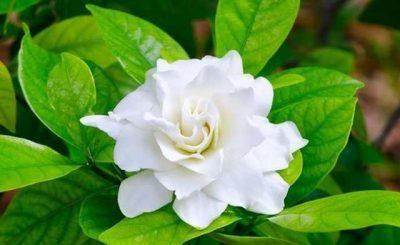 Hoa trồng ban công có mùi thơm hơn nước hoa