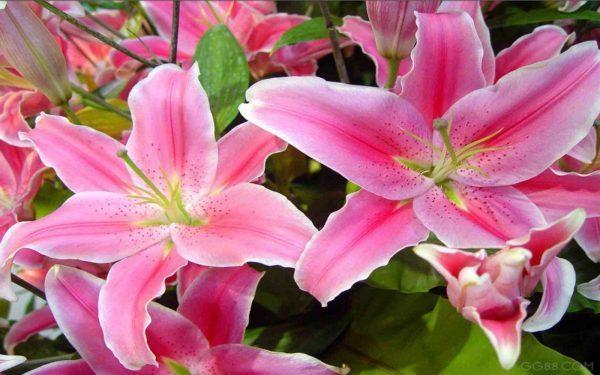Cách giữ hoa ly lâu nở và tươi lâu nhất