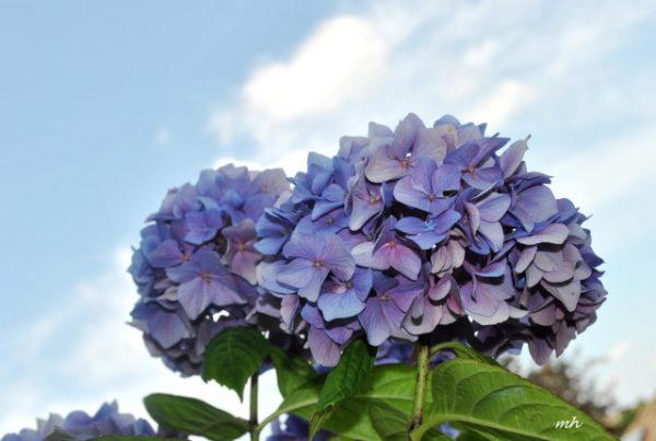 Hoa cẩm tú cầu nở vào mùa nào trong năm, bạn có biết?