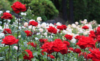 Tên các loài hoa màu đỏ phổ biến dễ trồng hiện nay