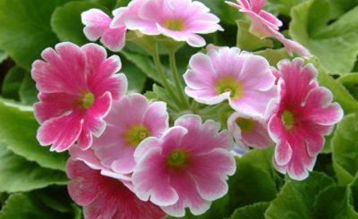 Ý nghĩa của hoa anh thảo – loài hoa bí ẩn