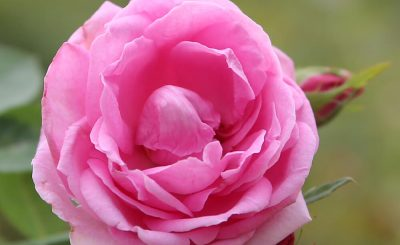 Giống hoa hồng nào thơm nhất Việt Nam?