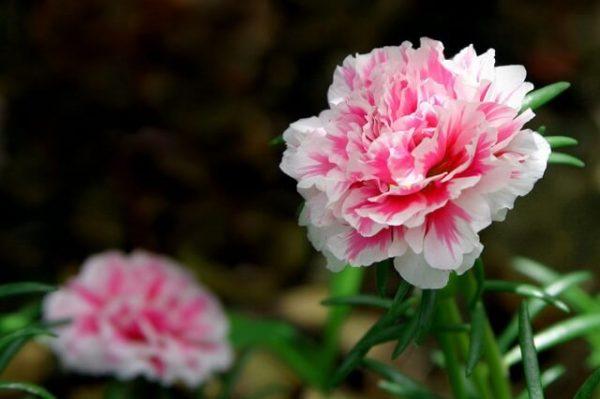 Hoa cẩm chướng nở mùa nào, bạn có biết?