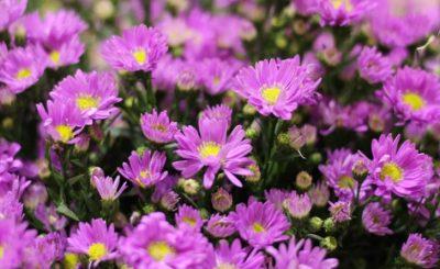 Bật mí ý nghĩa của các loài hoa theo tháng sinh (P2)