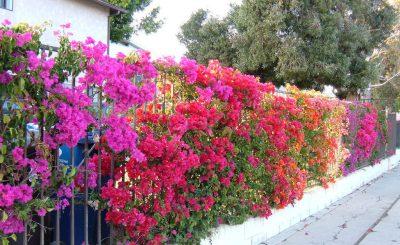 Hướng dẫn cách trồng cây hoa giấy cho người mới