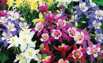 Ý nghĩa của hoa bồ câu – loài hoa nhiệt huyết