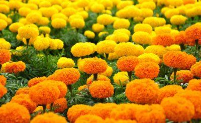 Đặc điểm và cách chăm sóc hoa cúc vạn thọ