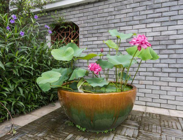 Đặc điểm và cách chăm sóc hoa sen trong chậu