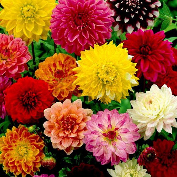 Đặc điểm và cách chăm sóc hoa thược dược