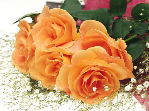 Ý nghĩa các màu sắc của hoa hồng