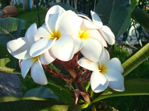 Ý nghĩa của hoa sứ trong tình yêu và cuộc sống
