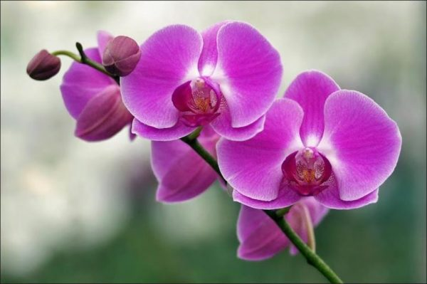 Đặc điểm và cách chăm sóc hoa phong lan