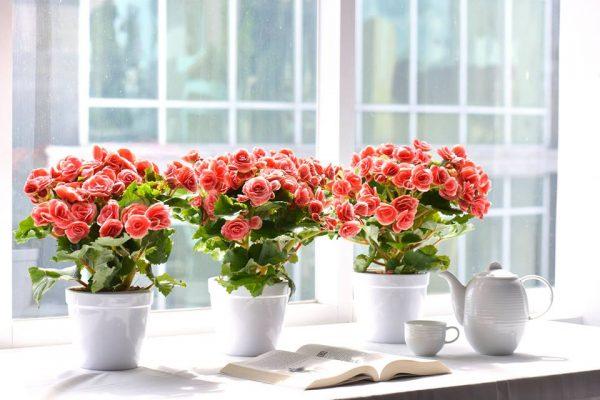 Ý nghĩa hoa thu hải đường – hoa đẹp cho mọi không gian
