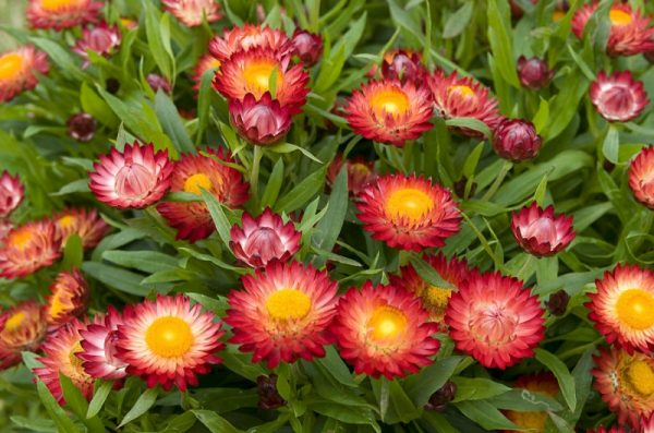 Các loại hoa cúc nhỏ được nhiều người yêu thích